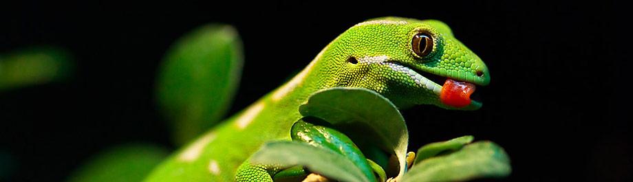 banner-gecko